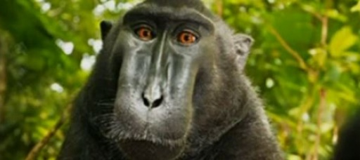 Who owns the rights to a monkey's selfie?