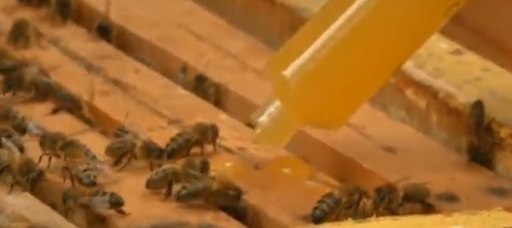 Bacteria-treated honey cures wounds