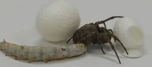 GM spider silk made by silkworms