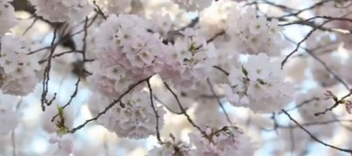 Countdown to cherry blossoms' peak