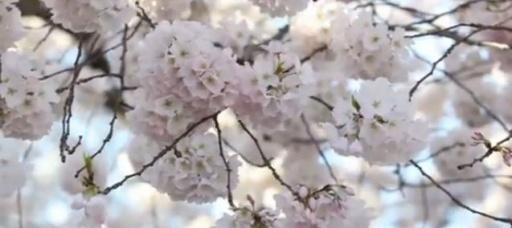 Countdown to cherry blossoms' peak