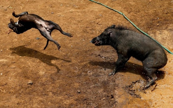Wider image: Indonesian villages pit wild boars against dogs