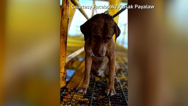 A dog named Boonrod was picked up by oil rig workers some 100 miles off Thailand's coast, before being greeted back on dry land. Rough cut (no reporter narration).