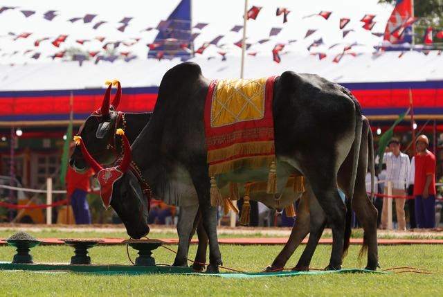 Cambodia's royal oxen eat during a royal ploughing ceremony in Takeo province, Cambodia, May 22, 2019. REUTERS/Stringer