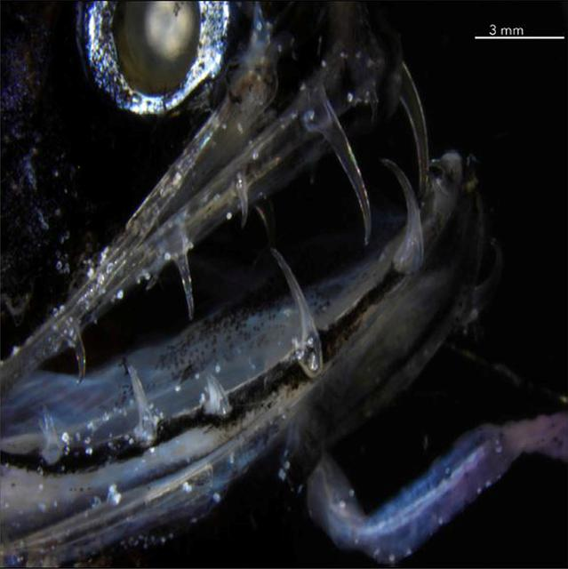 The transparent teeth of the deep-sea dragonfish are shown in this photograph released from San Diego, California, U.S., on June 5, 2019.   Courtesy Audrey Velasco-Hogan/Handout via REUTERS