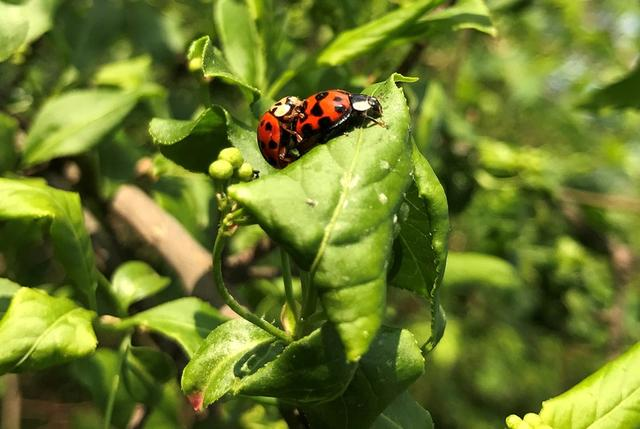 FILE PHOTO: Ladybugs are seen in a park near Weiterstadt, Germany, April 4, 2017.   REUTERS/Kai Pfaffenbach -/File Photo