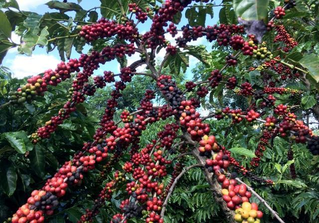 FOTO DE ARCHIVO- Arbustos de café robusta en Sao Gabriel da Palha, en el estado de Espirito Santo, Brasil. Mayo 2, 2018. REUTERS/Jose Roberto Gomes