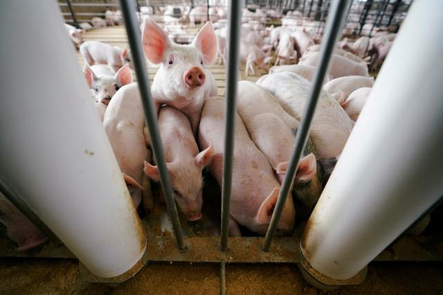 FILE PHOTO: Young pigs feed in a pen during a hog farm tour in Ryan, Iowa, U.S., May 18, 2019. REUTERS/Ben Brewer/File Photo