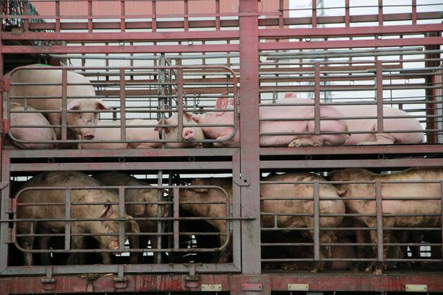 FILE PHOTO: Pigs are seen on the back of a truck outside a slaughterhouse in Dongguan, Guangdong province, China December 22, 2017. REUTERS/Stringer/File Photo