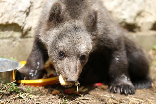 La osezna huerfana Aida comiendo en el zoológico en Sarajevo, Bosnia. 16 de julio de 2019.  REUTERS/Dado Ruvic.