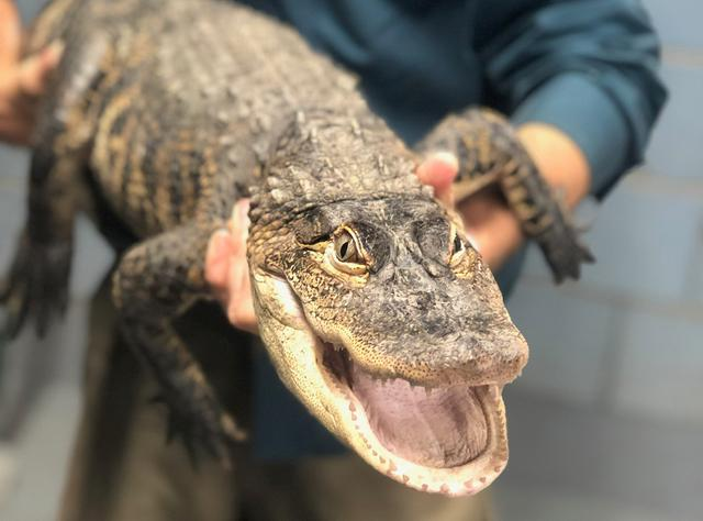 An American alligator measuring over five feet long, captured in a Chicago lagoon after eluding officials for nearly a week, is shown in Chicago, Illinois, U.S., July 16, 2019.  City of Chicago/Handout via REUTERS