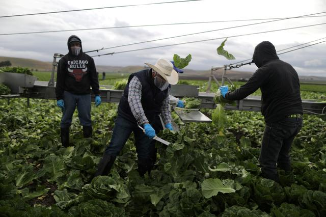 FILE PHOTO: Foreman Roberto Navarrete, 30, (C) supervises farmworkers with H2A visas as they harvest romaine lettuce in King City, California, U.S., April 17, 2017. REUTERS/Lucy Nicholson/File Photo