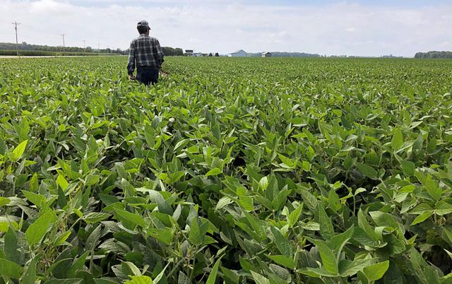 A crop scout walks through a soybean field to check on crops during the Pro Farmer 2019 Midwest Crop Tour, in Allen County, Indiana, U.S., August 19, 2019.  REUTERS/P.J. Huffstutter