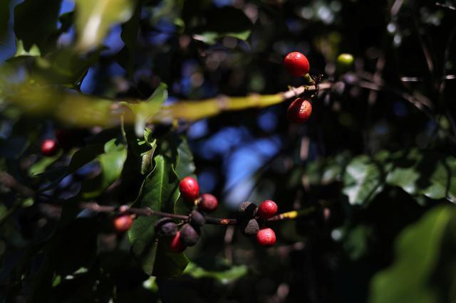 Coffee cherries are seen in a plantation in the town of Sao Joao da Boa Vista, Brazil June 6, 2019. REUTERS/Amanda Perobelli