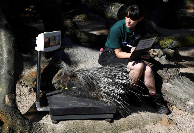 A porcupine stands on scales as zookeeper Chelsea Reid-Johnson poses during the annual weigh-in at London Zoo, London, Britain, August 22, 2019.  REUTERS/Toby Melville