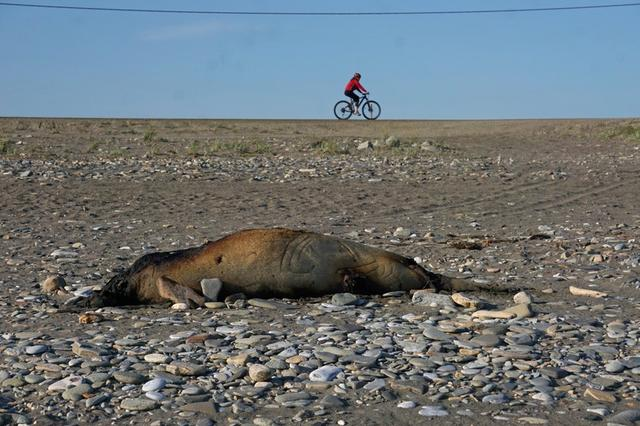 FILE PHOTO: A dead seal is seen on a beach near a cyclist, in Nome, Alaska, U.S. July 16, 2019. REUTERS/Yereth Rosen