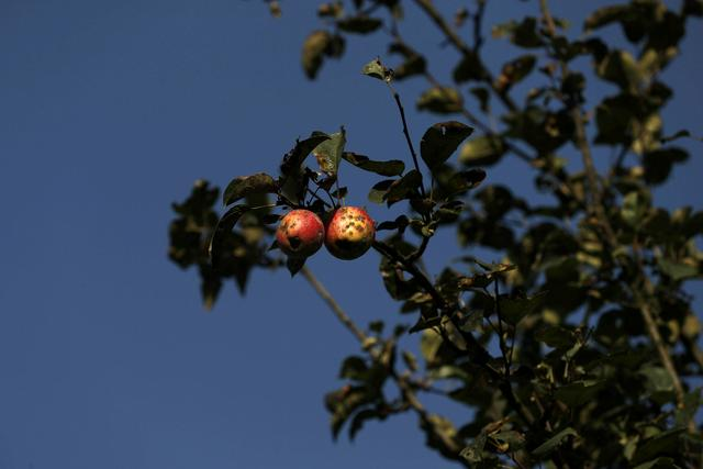 FILE PHOTO: Rotten apples are seen on a tree at an apple orchard, in Sopore, north Kashmir, September 13, 2019. REUTERS/Francis Mascarenhas
