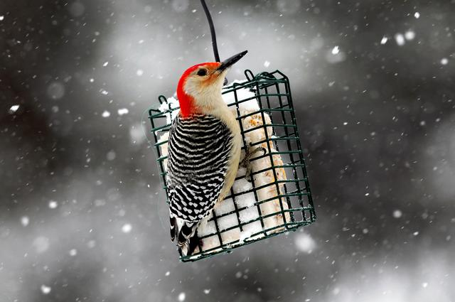 FILE PHOTO: A Red-bellied Woodpecker perches on a suet feeder during a winter storm in the village of Nyack, New York, January 21, 2012. REUTERS/Mike Segar/File Photo