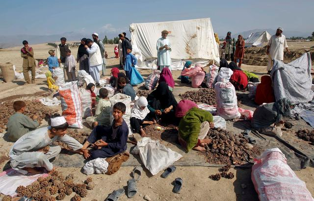 FILE PHOTO: Afghans work on a pine nuts field in Jalalabad province October 10, 2012. REUTERS/Parwiz/File Photo