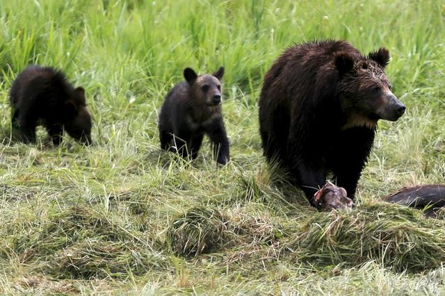 FILE PHOTO:  A grizzly bear and her two cubs approach the carcass of a bison in Yellowstone National Park in Wyoming, United States, July 6, 2015. REUTERS/Jim Urquhart/File Photo/File Photo