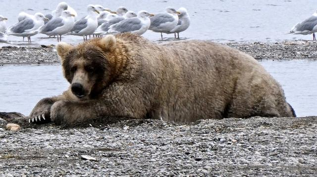 """FILE PHOTO: A bear known to researchers as """"Bear 435 Holly"""" rests while looking for migrating salmon to help fatten up for the winter hibernation, in Katmai National Park, Alaska, U.S., September 15, 2019.  Naomi Boak/National Park Service/Handout via REUTERS."""