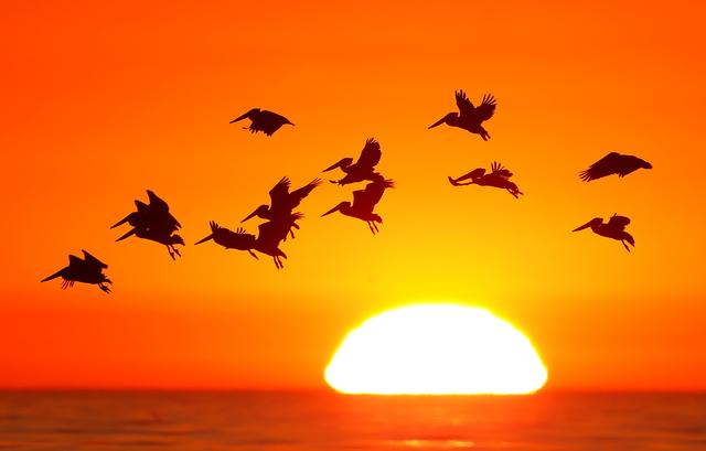 FILE PHOTO: Pelicans silhouetted by a setting sun fly as they look for fish along the California coastline near Leucadia, California November 1, 2013.  REUTERS/Mike Blake