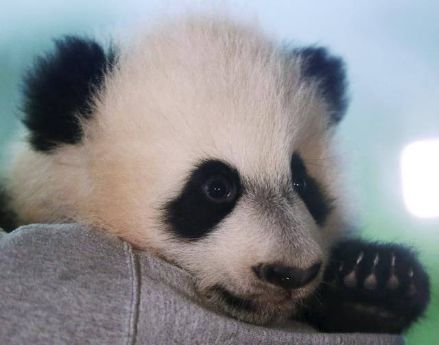 FILE PHOTO: Giant Panda cub Bei Bei is shown to the media at the Smithsonian National Zoo in Washington, December 16, 2015. Bei Bei is four months old and weighs 17 pounds.  REUTERS/Gary Cameron
