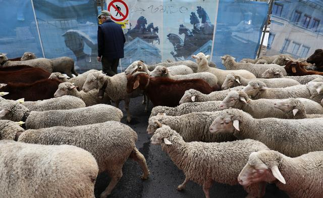 A man stands behind fences as a flock of sheep walks past during the annual sheep parade through Madrid, Spain, October 20, 2019. REUTERS/Sergio Perez