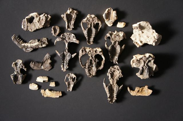 Fossilized mammal skull fossils and lower jaw retrieved from the Corral Bluffs site in Colorado dating from the aftermath of the mass extinction of species 66 million years ago is seen in a picture released October 24, 2019. HHMI Tangled Bank Studios/Handout via REUTERS.