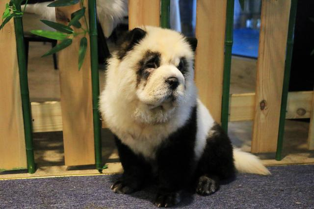 A Chow Chow dog dyed in the likeness of a giant panda is pictured at a pet cafe in Chengdu, Sichuan province, China October 27, 2019. REUTERS/Fang Nanlin