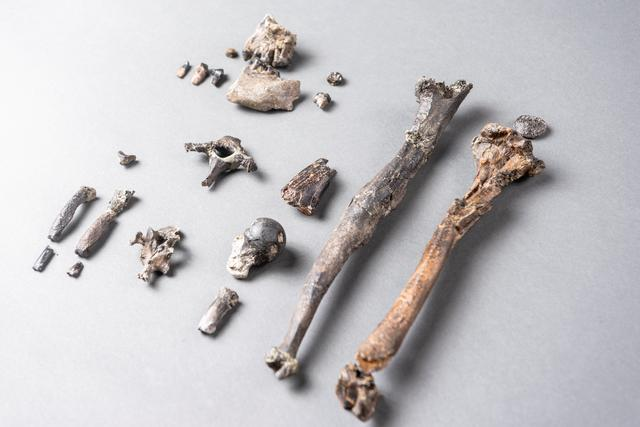 Twenty-one fossilized bones of the most complete partial skeleton of a male of the extinct ape species Danuvius guggenmosi, which lived about 12 million years ago in southern Germany, is seen in this photo illustration released in Tubingen, Germany on November 6, 2019.   Christoph Jaeckle via REUTERS.