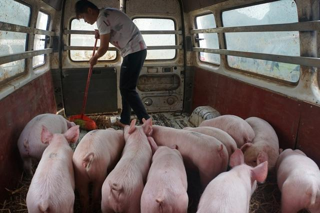 FILE PHOTO: A man sweeps next to pigs kept temporarily inside a vehicle in Baise, Guangxi Zhuang Autonomous Region, China November 6, 2019. REUTERS/Stringer