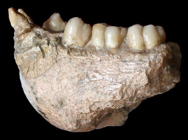 A fossil of a lower jaw of the large extinct ape Gigantopithecus blacki, found in Chuifeng cave in ChinaÕs Guangxi region, is seen in this photo released on November 13, 2019. Wei Wang/Handout via REUTERS.