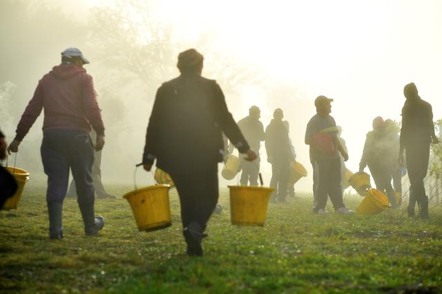 FILE PHOTO: Early morning mist rises as migrant workers prepare to pick grapes at Chapel Down Winery's Kit's Coty vineyard in Aylesford, Kent, Britain, October 5, 2018.  REUTERS/Dylan Martinez
