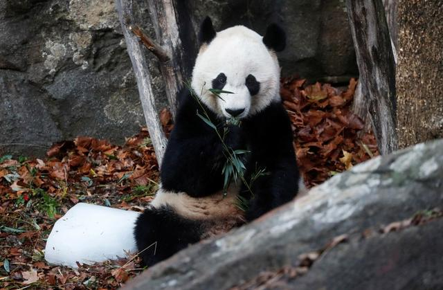 Bei Bei, the giant panda, is seen for the last time at the Smithsonian National Zoo, before his departure to China, in Washington, U.S., November 19, 2019. REUTERS/Yara Nardi