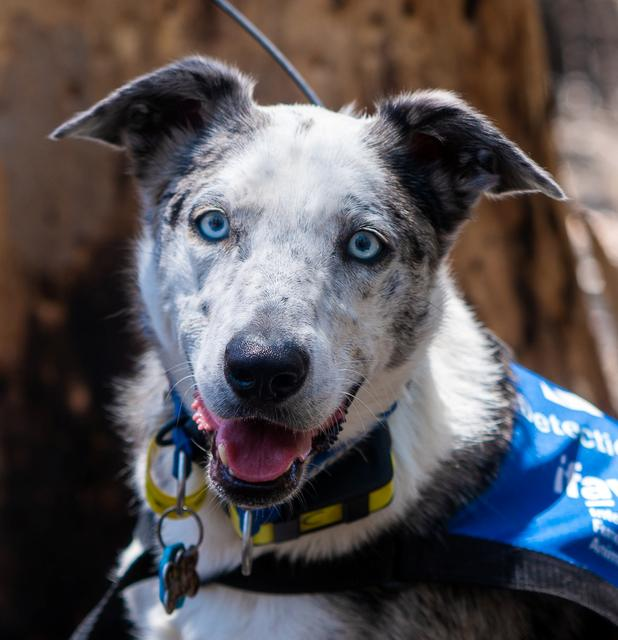 Bear, a Cattle Dog cross-breed who is helping to find and save koalas injured in Australia's recent bushfires, is seen in Queensland, Australia, in this picture obtained from social media on November 20, 2019. Mandatory credit INSTAGRAM/@ficlarkphotography/via REUTERS