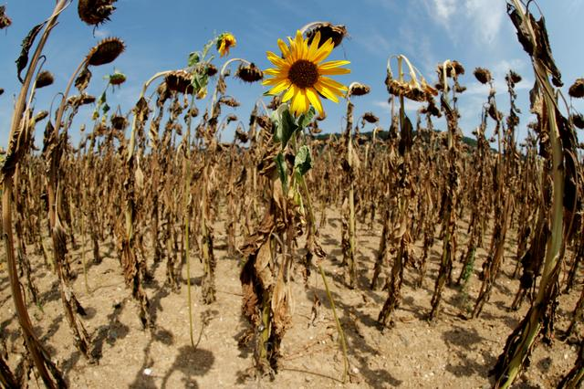 FILE PHOTO: A sunflower blooms in between dried-out ones during unusually hot summer weather near the village of Benken, Switzerland, August 6, 2018. Picture taken with a fisheye lens.   REUTERS/Arnd Wiegmann