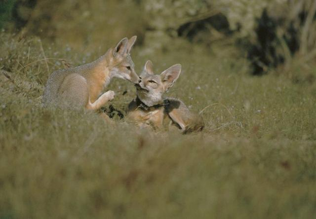 San Joaquin kit foxes are seen in this undated handout photo obtained by Reuters on December 12, 2019. USFWS/Handout via REUTERS