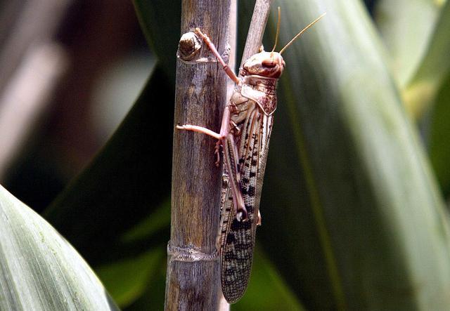 FILE PHOTO: A desert locust feeds on crops in Laghouat, Algeria, July 29, 2004. Picture taken July 29, 2004.    REUTERS/Louafi Larbi/File Photo