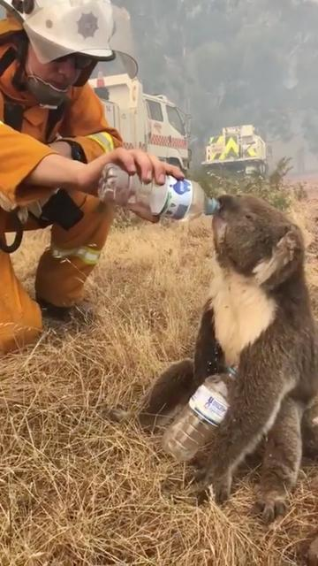 A koala drinks water offered from a bottle by a firefighter during bushfires in Cudlee Creek, south Australia, December 22, 2019, in this picture obtained from social media. Picture taken December 22, 2019.  Mandatory credit OAKBANK BALHANNAH CFS/via REUTERS