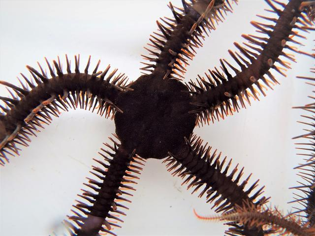 A red brittle star, Ophiocoma wendtii, is seen in this image released on January 2, 2020. Lauren Sumner-Rooney/Handout via REUTERS. A cousin of the sea star and sea cucumber, this species that lives among the coral reefs of the Caribbean is one of two known animals that lack eyes but still possess the ability to see.