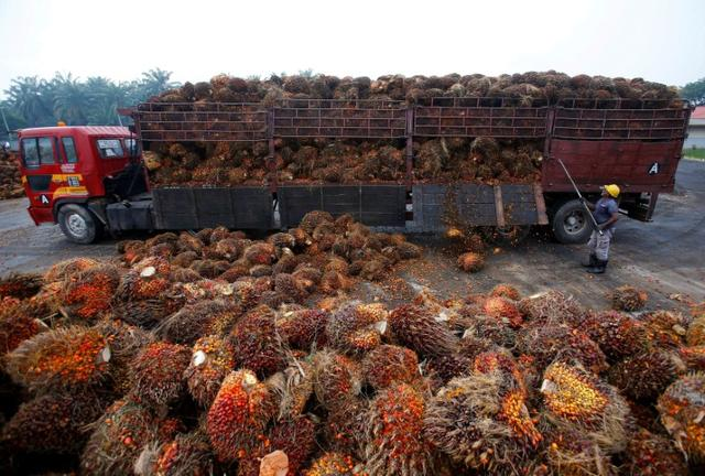 FILE PHOTO: A worker unloads palm oil fruits from a lorry inside a palm oil factory in Salak Tinggi, outside Kuala Lumpur, Malaysia, August 4, 2014.   REUTERS/Samsul Said