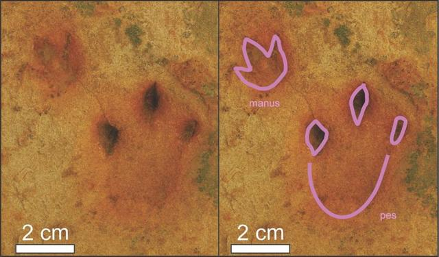 An undated image of Afrodelatorrichnus ellenbergeri, a set of hand-feet impressions of a quadrupedal dinosaur, are seen preserved in a sandstone layer in South Africa alongside an interpretive outline of the tracks, in a combination of photos released January 29, 2020.  Bordy et al. 2020 PLoS One/Handout via REUTERS