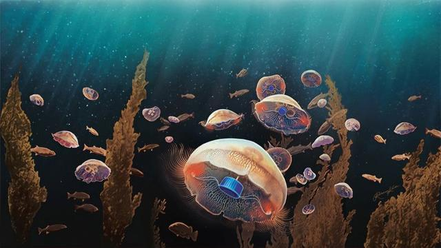 A jellyfish augmented with a microelectronics implant designed by researchers Nicole Xu and John Dabiri is seen in an artist's rendering released January 30, 2020.  Rebecca Konte/Caltech/Handout via REUTERS.