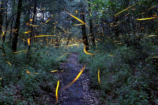 FILE PHOTO: Fireflies seeking mates light up in synchronized bursts inside a forest at Santa Clara sanctuary near the town of Nanacamilpa, Tlaxcala state, Mexico, July 24, 2017. REUTERS/Edgard Garrido/File Photo