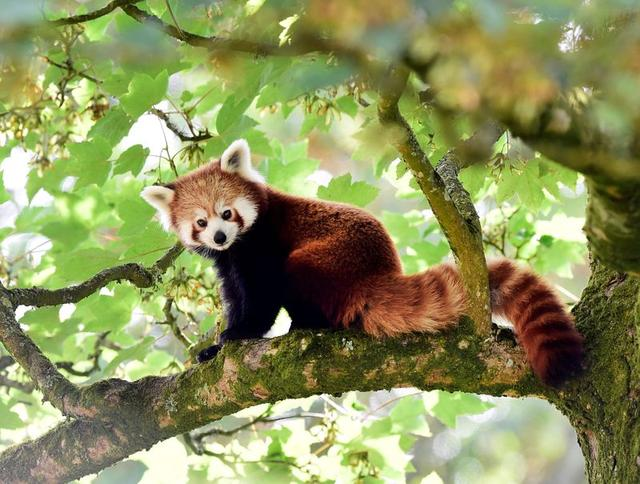 FILE PHOTO: A one year old Red Panda sits in the trees having only recently arrived to a brand new enclosure at the Manor Wildlife Park, St Florence, near Tenby in Wales, July 18, 2018. REUTERS/Rebecca Naden/File Photo