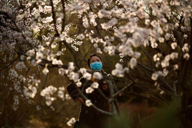 A woman wearing a protective mask looks at blossoms in a park on a sunny day in Beijing as the country is hit by an outbreak of the novel coronavirus disease (COVID-19), China, March 21, 2020. REUTERS/Thomas Peter