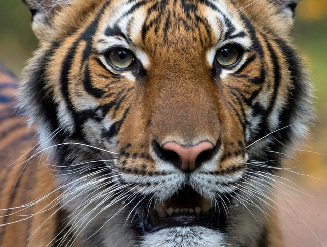Nadia, a 4-year-old female Malayan tiger at the Bronx Zoo, that the zoo said on April 5, 2020 has tested positive for coronavirus disease (COVID-19) is seen in an undated handout photo provided by the Bronx zoo in New York. WCS/Handout via REUTERS