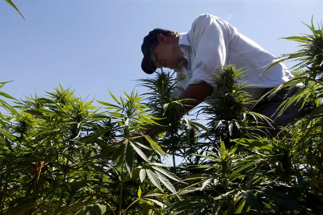 FILE PHOTO: A farmer is seen tending to cannabis plants in a field in the Yammouneh area west of Baalbek, Lebanon, August 13, 2018. REUTERS/Mohamed Azakir