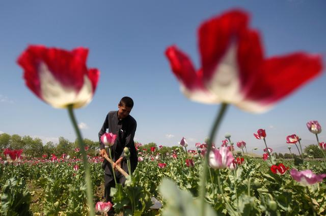 FILE PHOTO: An Afghan man works on a poppy field in Jalalabad province April 17, 2014. REUTERS/ Parwiz/File Photo